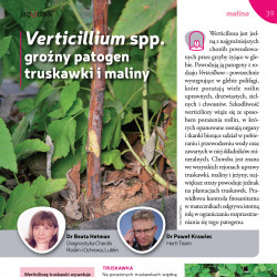 Verticillium spp. groźny...